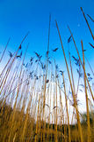 Reed Marshes Stock Images