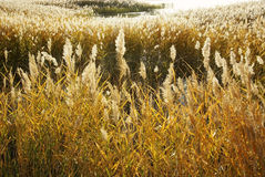 Reed marshes in autumn Royalty Free Stock Image