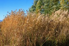 Reed marshes Stock Image