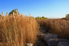 Reed marshes. In LuDi park. Photo taken in Beijing, China stock image