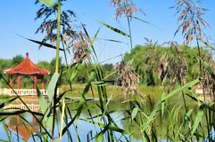 Lake landscape. With Reed marshes in summer stock photos