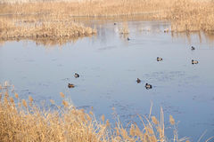 Reed marshes. The winter scenery of reed marshes royalty free stock photo