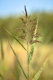 Reed in Marshland Stock Photo