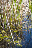 Reed and moss. Reed in a turtle pond in a nature preserve, california Stock Photography