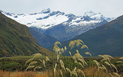 Reed in Mt Aspiring NP. Mt Aspiring National Park, New Zealand stock photography