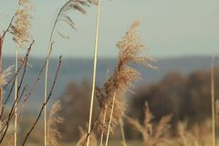 Reed near Elz river stock photo