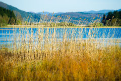 Reed near a lake. A picture of common reed near a lake Stock Photography