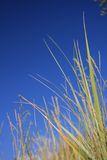 Reed near the sea Stock Photography