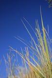Reed near the sea. Common Reed, plant. Phragmites australis Stock Photography