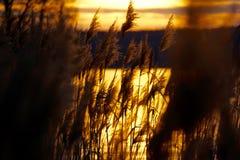 Reed nel barlume dorato Fotografia Stock Libera da Diritti