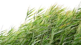 Reed nel vento stock footage