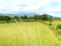 Reed nel vento Fotografie Stock