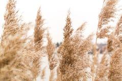 Reed nel vento Fotografia Stock Libera da Diritti