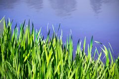 Reed next to the water Stock Image