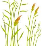 Reed no fundo branco Foto de Stock Royalty Free