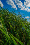 Reed no lago Fotos de Stock Royalty Free