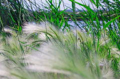 Reed no lago Imagem de Stock Royalty Free