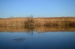 Reed no lago Foto de Stock Royalty Free