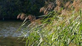 Reed no outono contra a lagoa azul video estoque