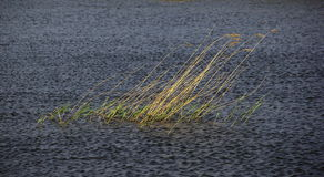 Reed no rio Foto de Stock