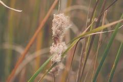 Reed no rio no vento Fotos de Stock Royalty Free