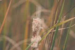 Reed no rio no vento Fotografia de Stock
