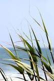 Reed by the Ocean Stock Image