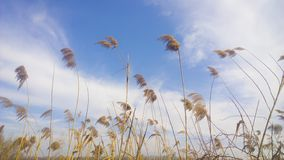Reed over blue sky Royalty Free Stock Image
