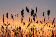 Reed over sunset sky Stock Photos