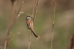 Reed Parrotbill Stock Photo