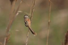 Reed Parrotbill Stock Photo