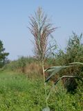 Reed (Phragmites australis) Stock Photography