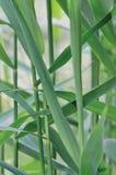 Reed Phragmites Leaf commun, Cav australis P Trin communis Steud ex Feuilles japonicus, usines comme une herbe, grande verticale Image stock