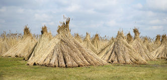 Reed piles in the field Stock Photography
