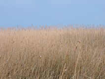 Reed plant. And blue sky, can use as background, Lithuania stock images