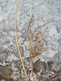 Reed plant on ice Stock Photo