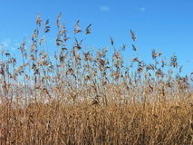 Reed plant in sky background. Brown reed plant in blue sky background, Lithuania Stock Image