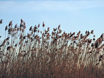 Reed plant in sunrise colors Stock Photography