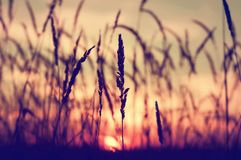 Reed plant at sunset stock photo