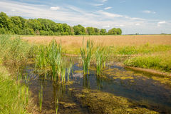 Reed plants and duckweed growing in a small stream Stock Photography