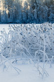 Reed plants in the frost on winter lake in forest Stock Photography