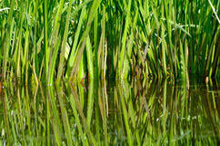 Reed Royalty Free Stock Photos