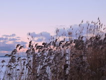 Reed plants Royalty Free Stock Image