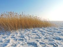 Reed plants near Curonian spit, Lithuania Royalty Free Stock Photos