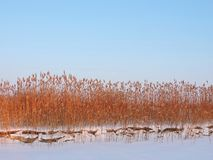 Reed plants near river in winter, Lithuania Stock Photography