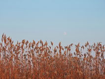 Reed plants. In sunset colors, Lithuania royalty free stock photos