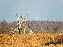 Eagle bird resting on old tree, Lithuania Royalty Free Stock Photography