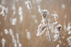 Reed plume. Romantic reed plume on a walk stock photo