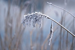 Reed plume in winter Royalty Free Stock Photo