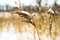 Reed plumes covered with snow Royalty Free Stock Photography